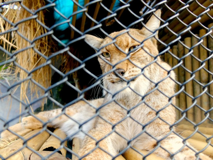 Tiger Batu Secret Zoo