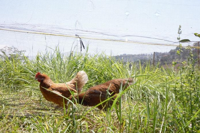 Chicken Dago Dairy