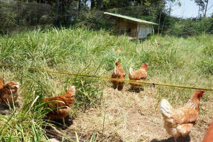 Chicken Bandung